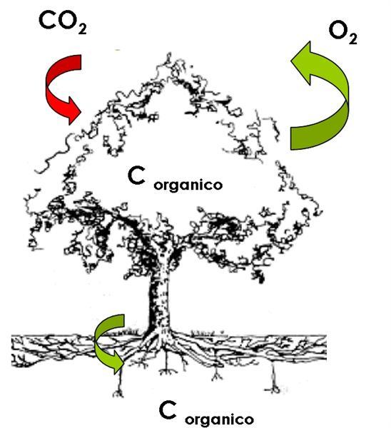 Piante ed eliminazione del biossido di carbonio